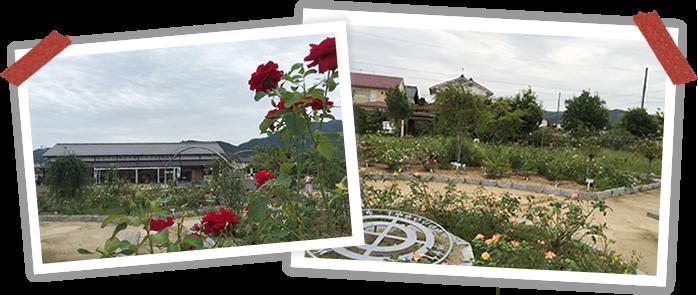 綾部バラ園の画像